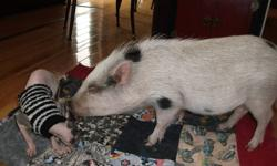 I have a Julianne-micro mini pig for sale. This little guy is neutered and fully house trained. He is 8months old and has been raised with kids and other pets. These little pigs make a great addition to the home, don't shed, and are very smart. He likes