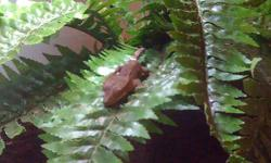 I have a juvenile dark brown eyelash crested gecko that I am selling, he comes with a 20G tank with a lock wire lid, UVB lamp and bulb, tank furnishings, crested gecko food and bowls. Everything you need to take care of this gentle, beginner level