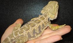 We have two baby bearded dragons that are looking for their new homes! 1 LEFT!!!! (male) They are eating salad, as well as crickets and worms. They are friendly and are used to being handled. As with any pet, please do your research prior to inquiring to