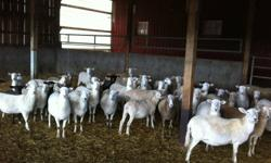Group of Katahdin sheep due to lamb in Nov./Dec. also a group due to lamb in Jan./Feb.