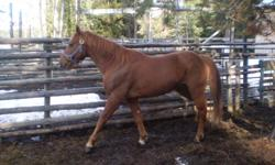 Khan is a 10 y/o 15.3 Hand copper chestnut quarter horse cross gelding. He is very pretty, sweet and has great conformation. He has been used mostly for a trail horse, but has done a year of gymkhana. He has a good walk/trot/canter but no formal training