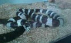 boots, she is about 2-3 feet long she needs to be handled more we don't have the time any more comes with cage and light