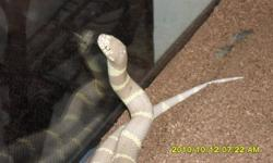 The snake is approximately five feet long, and roughly three and a half inches thick. Age is about two and a half yrs old. Comes with two complete terrarium enclosures, including all accessories. Day/Night Lamps, electric heat pads, water dishes, bath