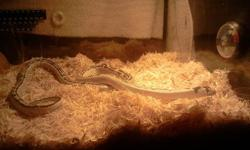 iu have a black and white 2 foot kingsnake for sale.  he is not a biter or bad in any way, i just have too many pets and dont have enough time for him anymore, he comes with his cage and accessories. please text me at 780 2656037 or call 7809621415 and