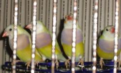 Yellow back Lady Gouldian Finches 4 males....red head, purple breast, yellow back $100 each 1 hen......red head, purple breast, yellow back $100 1 hen.....white head (technical term is Black head, but the yellow back lacks a black pigments so coloring