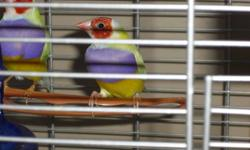 Lady Gouldian Finches 4 males: red head, purple breast, yellow back $100 each 1 hen: red head, purple breast, yellow back $100 1 hen: white head (technical term is Black head, but the yellow back lacks a black pigments so coloring shows up as silver or