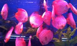 Hello everyone we got a really healthy batch of discus for sale. They are on sale at the moment for $50.00 each be quick!