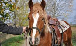 4 years old and just been tacked. Would make a really cute kids show pony AFTER he was trained out properly. Owner wants him gone, not enough hay for the winter. $450 takes him. Located outside of Kincardine. Must go soon. Only serious interest please.