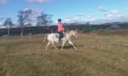 Shy is a loving and realiable large pony mare. She has been shown in dressage, eventing and hunter/ jumper. Shy is bombproof on trails alone or with a group, she will go through water and is road safe. I have used her for lessons and she is safe enough
