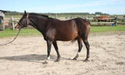 Hello! Flynn (Mad Hatter) is... Age: 9 year old male (gelding) Size: 14.1hh (Large Pony) Color: Dark Bay (2 white socks, stripe) W/T/C, jump. Three years on the AERSO circuit. Lots of experience. Needs a strong-legged rider. Super safe, calm and fun.