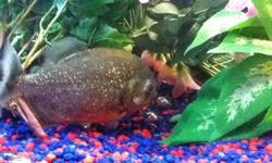 Large, healthy, red-bellied piranha for sale asap.  This is an absolutely gorgeous fish.  It is about 6 inches long.  I must sell or trade it asap as it is in a tank with a slightly larger jack dempsey that is starting to get very aggressive with it. So