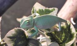 Last Chance to buy baby Veiled Chameleons at wholesale price.  Setting up appointments for potential customers to view the babies Saturday Oct 29th.  Any Chameleons not sold by the end of Saturday will be going to a local pet store.  (Where they will be