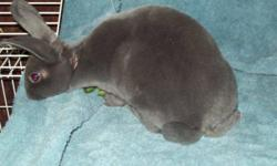 Buckland Toft Rabbitry has 5 Mini-Rex rabbits for sale. - 4 months old. - 3 Does, 2 Bucks Image1 - Blue Buck Image2 - Broken Blue Buck Image3 - Broken Blue Doe Image4&5 - Tri-Colour Does All our rabbits are very friendly and are handled regularly.