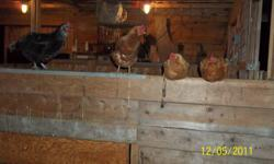 We would like to slim down on our egg layers for the winter, selling 7 laying hens all 1-2 years and 1 black one that's around 4years old, all still young and all great layers. $10.00 each. 2 are golden commets