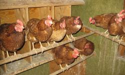 I have 47 ISA brown hens for sale. Nice birds that produce a large brown egg. They are one and a half years old. From all the birds I get about 35-40 eggs a day. Pick-up the beginning of april. Only reason for selling is that I am getting a new flock in