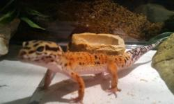 I have a leopard gecko for sale less than a year old with a 30 gallon tank and all accessories very easy to maintain .