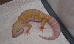 This is an absolutely beautiful little 4 month old male albino leopard gecko. He is eating fine and is strong. He is given calcium and vitamin supplements and is doing well. Need him gone to make room.