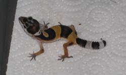 Fancy leopard gecko babies, eating well on meal worms and crickets. Ready to go to new homes and only $60 each. Great beginer pet for all.