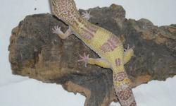 Proven Group! Female Phantom Leopard Gecko Female Hypo Mack Snow het Tremper Leopard Gecko Male Sunglow Leopard Gecko $300.00 You can produce Hypo Mack Snow, Mack Snow albinos, Phantoms and Sunglows! May Consider splitting group