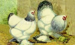 We have Light Brahma Chicks for Sale. Hatched on Sept. 20th hatched:97 left:70 $ 4.00 each, unsexed   Hatched on Aug. 26th hatched: 122 left: 13 $ 6.00 each, unsexed   No cheques, cash only Ph # 434-9882 The Brahmas are a very old breed from Asia,