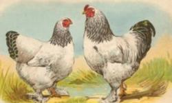 We have Light Brahma Chicks for Sale. Hatched on Dec. 20th 2011 left: 75 $ 4.00 each, unsexed Hatched on Nov. 29th 2011 left: 89 $ 5.50 each, unsexed Hatched on Nov. 8th 2011 left: 58 $ 7.00 each, unsexed Hatched on Oct. 12th 2011 left: 38 $ 8.50 each,