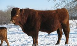 5 yr old Limousine Bull,  produces 80 to 90 lb calves, quiet, easy to handle bull, can be hand pail fed.  will consider swap for black Simmental bull. Ph. 204-268-3944    Only reason we are selling we want to keep his heifer calves.