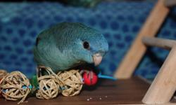 12 week old hand fed and family raised linnies; turquoise male (SOLD), cobolt female and turquoise female available.  Linnies are quiet, playful, low maintenance birds that make wonderful gentle companions. These birds are parrot-like in that they require