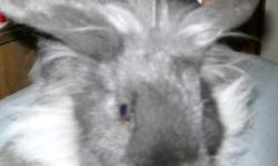 2 male rabbits 1 year old. 1 black. 1  silver /black
