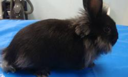 12 weeks old Lion head bunnies and 2 adult rabbits avaialble.  They are very adorable, friendly and easy to train. They are already trained to use the litter box for you. All you need to do is to take them to the next level of training the way you want.