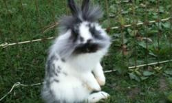 Lion head rabbits 3 months old. Very affectionate. Weaned the beginning of Sept. & ready to go. This ad was posted with the Kijiji Classifieds app.