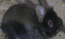 Have three lionhead bunnies for sale. Can deliver on Tuesday November 1. Email or text for fast response (781 0908). Have two all black and the one black/brown one. See pictures.