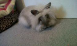 I have a lionhead bunny who is 4 months old for sale. I do not have the time for him anymore since I moved here. He is litter trained and great with kids. Has never bitten and is always cuddly. Comes with a cage that retails for 200.00 and food and big
