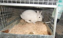 white male lionhead 14 months old proven breeder, very friendly and small. he doesn't have much of a main but his babies do, he is the father to the other lionheads I have for sale.I am selling most of my rabbits to make room for pedigreed rabbits for my