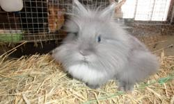 grey male lionhead born july 15th a little shy. selling most of my rabbits to make room for pedigreed rabbits for my daughter to show. can text 705 875-6967
