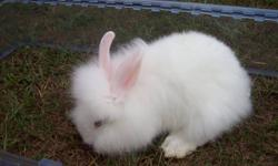 Several 8 week old lionhead rabbits available.  4 whites with blue eyes, 1 orange with brown and blue eyes.  For more info email or call 519-363-6180..