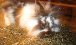 I have a variety of lionhead and lionhead/new zealand rabbits (I had a frisky male lionhead....) for sale. They range from 6 weeks to 6 months old. There's white, white and brown spotted, white and black spotted, black, and brown. If you need more photos