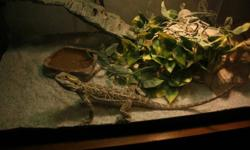 1 year old Bearded Dragon.Friendly Breadie is is a little over 1ft with the tail. comes with woodcage for it when it gets a little bigger, wooden cagen is big enough for full grown breaded dragon.also comes with little glass cage for crickets.HEATING N