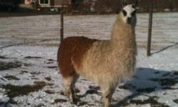 Free 2 yr old Male Llama White with brown rump Pick up in Crossfield or Ask if we can deliver This ad was posted with the Kijiji Classifieds app.