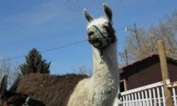 I have three beautiful bred llamas for sale They are due to have their babies around March/April? Cassie is brown and white, not sure how old she is --- she was in the Efree Christmas pagent last year Kusco is light brown, we have had her for 8 years, she