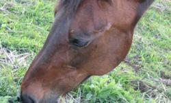 Standardbred.He is in his 20's.Kind and gentle. Great with other animals. Approx 15hh. Looking for a good home for him, somewhere he can spend his winters inside. Don't have the time to spend with him. Companion horse.