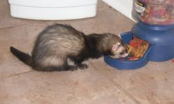 Ferrets couple, male and female about a year and 2 months old and fix ( come with cage). Looking for a good home, they are really friendly with adults, spacially with kids, cat and dog. Are clean, they have their own litter box. reason for selling is due