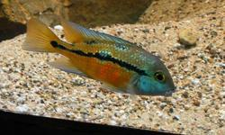 Hi I am looking for a pair of Nicaraguan Cichlid - Male & Female. Also known as: Hpsophrys nicaraguensis Macaw Cichlid, Parrot Cichlid, Nics, Nicaraguense, Nicaraguan Cichlid Also known as the Spilotum or Moga   I am looking for a young pair not too old