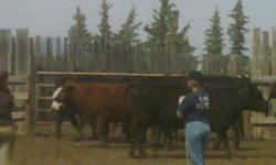 Looking for 30-50 cows on a contract lease share basis.  Breed is not as important as is mothering & temperament.