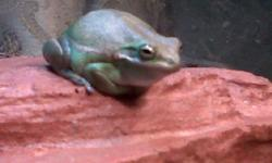 Hi Im looking for tree frogs like,red eyed tree frogs ( would really LOVE to add these to my collection), dumpy frogs, green tree frogs, MSG me with info,reasonable costs and pics IF possible ( NO pacman/ pixie frogs pls) I have many yrs experience with