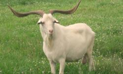 Looking for 20 kiko goats. would like Purebreds. only buying purebred registered kiko bucks.