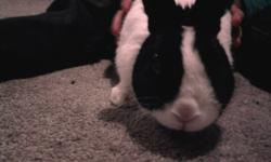 Hi i am looking for male dutch rabbit and some one who can deliver. A dutch rabbit is black and kind of looks like a oreo cookie lol. we dont need a cage either.   contact cell# 519-476-6372 feel free to text or call any time  thanks: Chyan