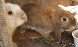 I have 4 young lop eared bunnies left for sale!!   2 gray,whiteish. 3 brown, blueish.   make very good pets!   $15 each!   first picture is of the parents.   email or call (204)878-4226 ask for elisabeth