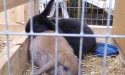 I have a black female lop left. 8 or so weeks old. $10 obo. very friendly and would make a good pet or 4-H rabbit..