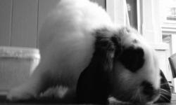 I have a young, female, black and white lop eared bunny to give away. I have no time for her anymore. shes sweet and playful and good with cats, she needs attention and I cant give her that. her name is Oreo but you are free to rename her if you wish.