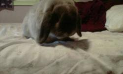i have a lopped eared rabbit,Male... he is good with other rabbits.. im selling him because i have two and i only want one and i dont have enough time for both... also his name is Snoopy... email and i will reply ASAP